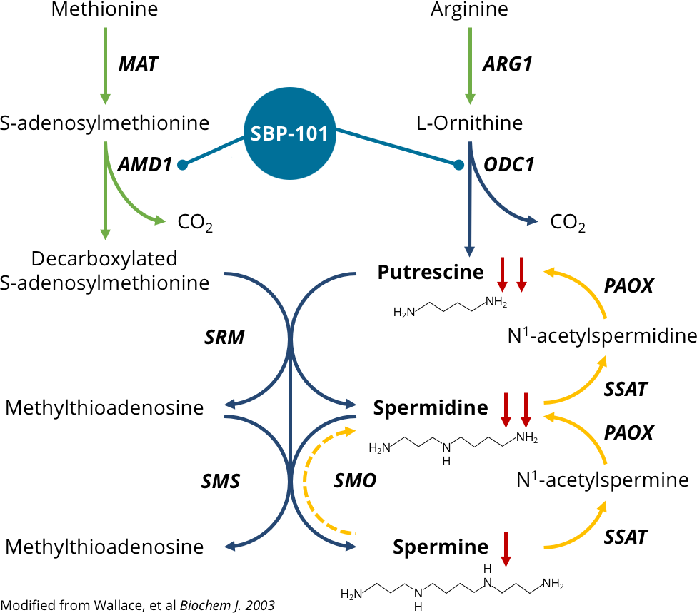 diagram: effect of SBP-101 on polyamine synthesis, catabolism and intracellular concentrations